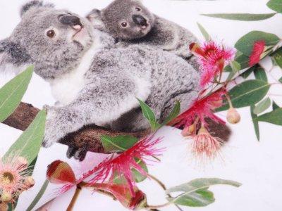 Jersey Digitaldruck Stenzo PANEL ca. 100 cm x 150 cm -  Koalabären - weiß